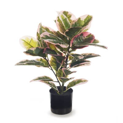 fi7574pg-rubber-plant-pink-green