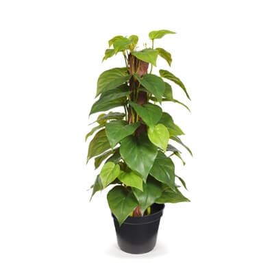 fi7593gr-philodendron-on-pole-45cm